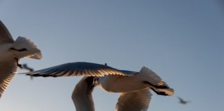 "Altimage= ""seagulls"""