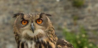 Powerful Eagle Owl