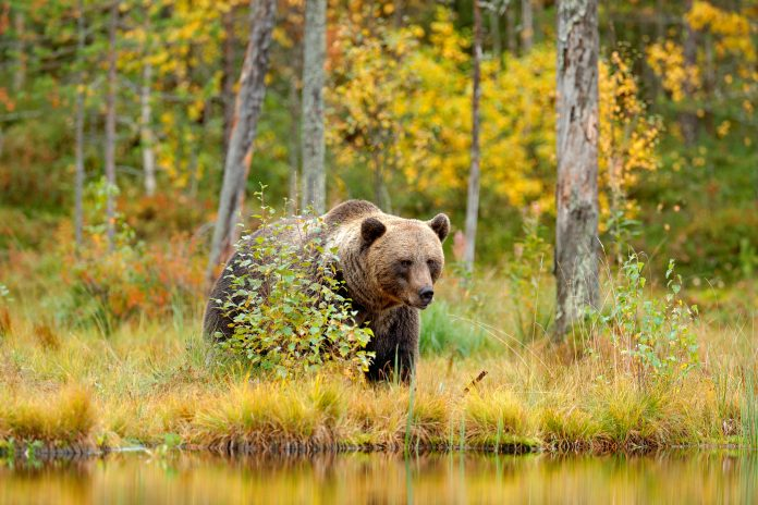 Man In Russia Rescued After Trapped In Bear's Den