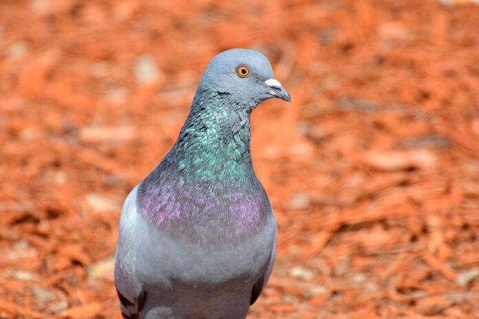 Australia-Plan-To-Kill-Racing-Pigeon