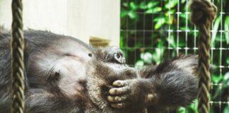 """altimage=""""gorillas"""""""