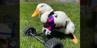"Altimage= ""duck"""